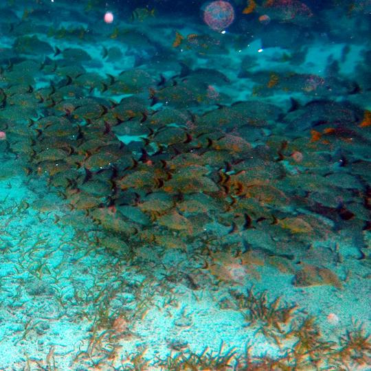Belize-Guide-Co-large-fish-school